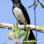 Willie wagtail. Adult. Northern Territory,  Australia, July 2012. Image © Dick Porter by Dick Porter