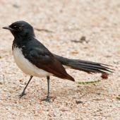 Willie wagtail. Adult on ground. Sydney,  New South Wales,  Australia, December 2012. Image © Duncan Watson by Duncan Watson