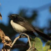 Willie wagtail. Adult. Home Valley Station, Kununurra, Kimberley, Western Australia, August 2014. Image © Roger Smith by Roger Smith