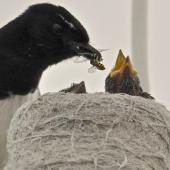 Willie wagtail. Adult feeding wasp to two chicks in nest on lampshade. Quinns Rocks,  Western Australia, October 2014. Image © Marie-Louise Myburgh by Marie-Louise Myburgh