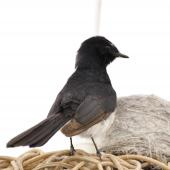Willie wagtail. Parent guarding nest on lampshade. Quinns Rocks,  Western Australia, October 2014. Image © Marie-Louise Myburgh by Marie-Louise Myburgh