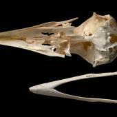 Chatham Island raven. Skull and mandible (ventral). Te Papa S.028679. Long Beach (south of Henga), Chatham Island. Image © Te Papa