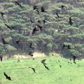 Rook. Large flock in flight. Manawatu, December 2016. Image © Scott Brooks (ourspot) by Scott Brooks