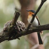 Satin flycatcher. Adult female beside nest. Cranbourne Botanic Gardens, Melbourne, Victoria, December 2011. Image © Wayne Butterworth by Wayne Butterworth via Flickr, 2.0 Generic (CC BY 2.0)