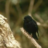 Tomtit. Adult Snares Island tomtit. Snares Islands, January 1987. Image © Colin Miskelly by Colin Miskelly