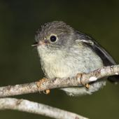 Tomtit. Juvenile female South Island tomtit. Routeburn Flats, Mt Aspiring National Park, January 2016. Image © Ron Enzler by Ron Enzler http://www.therouteburntrack.com