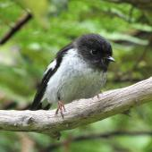 Tomtit. North Island tomtit, juvenile male. Waitakere Ranges, January 2014. Image © Oscar Thomas by Oscar Thomas https://www.flickr.com/photos/kokakola11