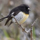 Tomtit. Adult male Chatham Island tomtit. Rangatira Island, Chatham Islands, October 2020. Image © James Russell by James Russell