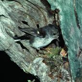 Tomtit. Adult female North Island tomtit at nest with chicks. Little Barrier Island, November 1979. Image © Department of Conservation (image ref: 10031210) by Dick Veitch, Department of Conservation Courtesy of Department of Conservation