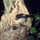 Tomtit. Adult male Chatham Island tomtit feeding chicks at nest. Rangatira Island, Chatham Islands. Image © Department of Conservation (image ref: 10040223) by Allan Munn, Department of Conservation Courtesy of Department of Conservation