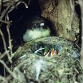 Tomtit. Adult female Chatham Island tomtit at nest containing chicks. Rangatira Island, Chatham Islands. Image © Department of Conservation (image ref: 10047972) by Allan Munn, Department of Conservation Courtesy of Department of Conservation