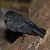 North Island robin. Adult male. Mana Island, November 2009. Image © Peter Reese by Peter Reese