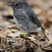 North Island robin. Adult. Boundary Stream, November 2011. Image © Tim Rumble by Tim Rumble www.timrumblephotography.co.nz