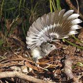 North Island robin. Wings raised. Waitakere Ranges, Auckland. Image © Eugene Polkan by Eugene Polkan