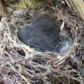 North Island robin. Two 12-day-old chicks in nest. Tawharanui Regional Park, October 2015. Image © Oscar Thomas by Oscar Thomas
