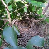 North Island robin. Nest. Tawharanui Regional Park, October 2015. Image © Oscar Thomas by Oscar Thomas