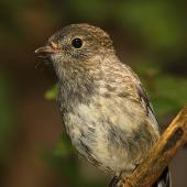 North Island robin. Juvenile. Wanganui, December 2014. Image © Ormond Torr by Ormond Torr