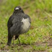 North Island robin. Adult in territorial dispute with another. Kapiti Island, June 2018. Image © Imogen Warren by Imogen Warren