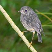 North Island robin. Juvenile (still being fed by adult). Bushy Park, Whanganui, November 2012. Image © Peter Frost by Peter Frost