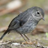 North Island robin. Adult on forest floor. Tiritiri Matangi Island, November 2012. Image © Philip Griffin by Philip Griffin