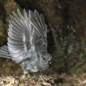 South Island robin. Adult female about to take flight. Routeburn roadend, Mt Aspiring National Park, January 2016. Image © Ron Enzler by Ron Enzler http://www.therouteburntrack.com