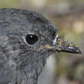 South Island robin. Adult female. Routeburn roadend, Mt Aspiring National Park, February 2016. Image © Ron Enzler by Ron Enzler http://www.therouteburntrack.com