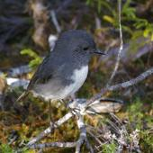 South Island robin. Adult male. Anchor Island, Dusky Sound, March 2011. Image © Colin Miskelly by Colin Miskelly