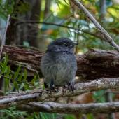 South Island robin. Stewart Island robin fledgling (approx 3 weeks after fledging). Ulva Island, December 2012. Image © Leon Berard by Leon Berard