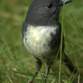 South Island robin. Adult male. Kahurangi National Park, December 2010. Image © Corey Mosen by Corey Mosen www.coreymosen.co.nz