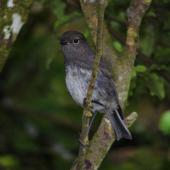 South Island robin. Stewart Island fledgling. Green Island, Foveaux Strait, December 2012. Image © Colin Miskelly by Colin Miskelly
