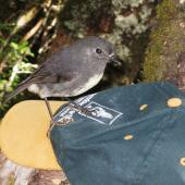 South Island robin. Adult female. Arthur's Pass, March 2011. Image © Joke Baars by Joke Baars