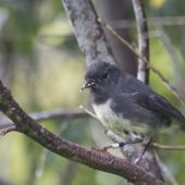 South Island robin. Female Stewart Island robin with nest material. Ulva Island, Stewart Island, November 2012. Image © Peter Tait by Peter Tait Courtesy Peter Tait http://www.sailsashore.co.nz, tait@sailsashore.co.nz