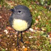 South Island robin. Adult showing legs. Arthur's Pass, April 2012. Image © James Mortimer by James Mortimer