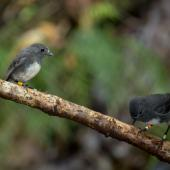 South Island robin. Stewart Island adult pair (male on right). Ulva Island, December 2012. Image © Sabine Bernert by Sabine Bernert www.sabinebernert.fr
