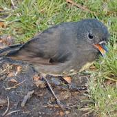 South Island robin. Adult male showing orange gape. Mt Arthur Track,  Kahurangi National Park, April 2005. Image © Ingrid Hutzler by Ingrid Hutzler