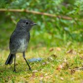 South Island robin. Adult. Eglinton Valley,  Fiordland, December 2012. Image © Sabine Bernert by Sabine Bernert www.sabinebernert.fr