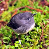 South Island robin. Stewart Island adult. Ulva Island, October 2009. Image © Cheryl Marriner by Cheryl Marriner http://www.glen.co.nz/cheryl
