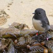 South Island robin. Stewart Island adult on beach. Ulva Island, April 2012. Image © Jenny Atkins by Jenny Atkins www.jennifer-m-pics.ifp3.com