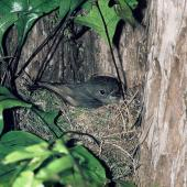 South Island robin. Adult female on nest. Kowhai Bush,  Kaikoura, September 1975. Image © Department of Conservation (image ref: 10039203) by John Kendrick, Department of Conservation Courtesy of Department of Conservation
