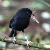 Black robin. Adult with nest building material. Rangatira Island, November 2013. Image © Leon Berard by Leon Berard