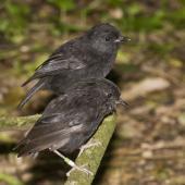 Black robin. Adult pair. Rangatira Island, Chatham Islands. Image © Art Polkanov by Art Polkanov