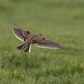 Eurasian skylark. In flight showing dorsal surface. Waipapa Point, Southland, August 2017. Image © Glenda Rees by Glenda Rees https://www.facebook.com/NZBANP/https://www.flickr.com/photos/nzsamphotofanatic/