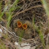 Eurasian skylark. Three chicks in nest. Miranda, Firth of Thames, November 2013. Image © Bartek Wypych by Bartek Wypych