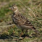 Eurasian skylark. Adult. Waikanae River estuary, September 2017. Image © Roger Smith by Roger Smith