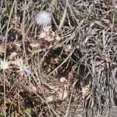 Eurasian skylark. Nest with three eggs. Moana Roa, November 2010. Image © Peter Frost by Peter Frost