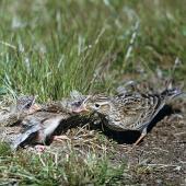 Eurasian skylark. Adult feeding chicks at nest. Birdlings Flat, Lake Ellesmere, September 1959. Image © Department of Conservation (image ref: 10037625) by Peter Morrison, Department of Conservation Courtesy of Department of Conservation
