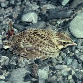 Eurasian skylark. Fledgling. Lake Tekapo, December 1985. Image © Department of Conservation (image ref: 10032289) by Rod Morris, Department of Conservation Courtesy of Department of Conservation