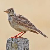 Eurasian skylark. Adult. Cape Kidnappers, January 2010. Image © Dick Porter by Dick Porter