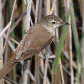 Australian reed warbler. Adult with prey. The Sanctuary, Tidbinbilla Nature Reserve, Australian Capital Territory, November 2016. Image © Glenn Pure 2016 birdlifephotography.org.au by Glenn Pure