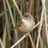 Australian reed warbler. Adult. The Sanctuary, Tidbinbilla Nature Reserve, Australian Capital Territory, November 2016. Image © Glenn Pure 2016 birdlifephotography.org.au by Glenn Pure